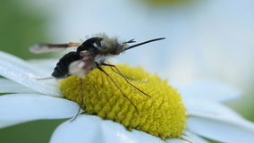 L'ape dal naso lungo vola sul fiore della camomilla archivi video