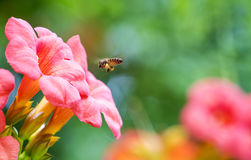 L'ape del miele di volo che raccoglie il polline dai radicans arancio di Campsis fiorisce fotografia stock libera da diritti
