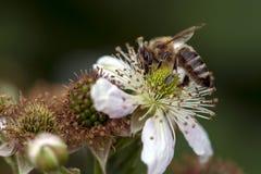 L'ape del miele raccoglie il nettare sul fiore della mora Fotografia Stock
