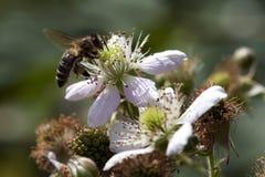 L'ape del miele raccoglie il nettare sul fiore della mora Immagini Stock