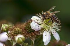 L'ape del miele raccoglie il nettare sul fiore della mora Immagini Stock Libere da Diritti
