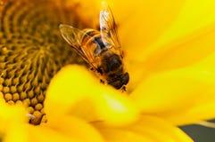 L'ape dell'insetto impollina il girasole agricolo su un fondo vago naturale fotografia stock libera da diritti