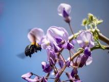 L'ape di carpentiere giapponese si alimenta dagli alberi di fioritura 4 fotografia stock