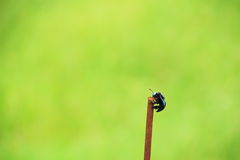 L'ape di carpentiere maschio della valle sul tondino di ferro Fotografie Stock
