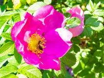 l'ape e la mosca raccolgono il polline del fiore rosa fotografia stock libera da diritti