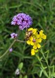L'ape ed il wildflower del miele immagine stock