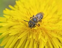 L'ape estrae il nettare Immagini Stock