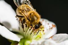 L'ape europea che impollina un piccolo fiore bianco Fotografia Stock