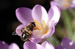 L'ape impollina il croco Fotografia Stock Libera da Diritti