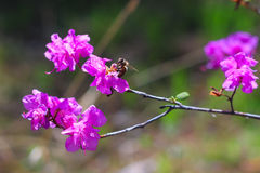 L'ape impollina il fiore Immagini Stock Libere da Diritti