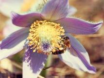 L'ape impollina il fiore del pulsatilla, retro filtro Immagine Stock