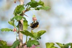 L'ape impollina l'uva passa di un fiore Fotografia Stock