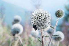 L'ape mangia un cardo selvatico Fotografia Stock