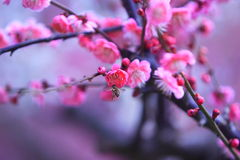 L'ape mellifica si avvicina al fiore della prugna Fotografia Stock Libera da Diritti
