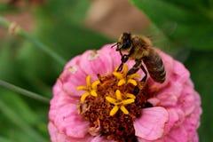 L'ape occidentale del miele (apis mellifera) a partire dalla zinnia porpora fiorisce fotografia stock