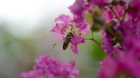 L'ape raccoglie dolce dal polline dell'albero di San Bartolomeo fotografia stock libera da diritti