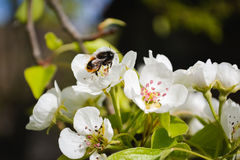 L'ape raccoglie il miele Fotografia Stock Libera da Diritti