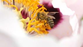 L'ape raccoglie il nettare dal fiore sbocciante di una peonia Primo piano di un'ape nel movimento lento eccellente video d archivio