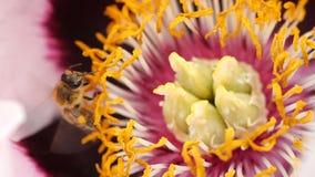 L'ape raccoglie il nettare dal fiore sbocciante di una peonia Primo piano di un'ape nel movimento lento eccellente archivi video