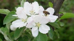 L'ape raccoglie il nettare sul fiore sbocciante di melo video d archivio