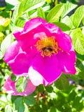 l'ape raccoglie il polline da fioritura rosa della rosa canina fotografia stock libera da diritti