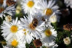 L'ape raccoglie il polline da un fiore bianco fotografia stock
