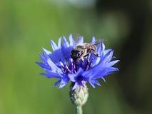 L'ape raccoglie il polline da un fiore blu del campo su un fondo verde Macro foto di una pianta e degli insetti del campo nei rag Fotografie Stock