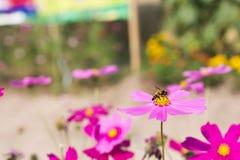 L'ape raccoglie il polline dagli aster perenni dei fiori di rosa in GA Immagini Stock Libere da Diritti