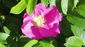 L'ape raccoglie il polline dagli stami del fiore della pianta della rosa canina video d archivio