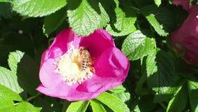 L'ape raccoglie il polline dagli stami del fiore della pianta della rosa canina stock footage