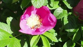 L'ape raccoglie il polline dagli stami di fioritura della pianta della rosa canina stock footage