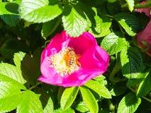 l'ape raccoglie il polline dagli stami gialli del fiore fotografia stock libera da diritti