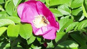 L'ape raccoglie il polline dal fiore rosa della rosa canina video d archivio