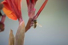 L'ape raccoglie il polline dal fiore rosso Macro Fondo di buio della sfuocatura fotografia stock libera da diritti