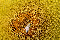 L'ape raccoglie il polline dal girasole Fotografie Stock Libere da Diritti