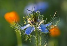 L'ape raccoglie il polline ed il nettare dal fiore di nigella Fotografia Stock