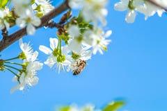 L'ape raccoglie il polline ed il nettare dal ramo in giardino del fiore di ciliegia fotografie stock libere da diritti