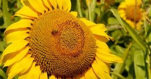 L'ape raccoglie il polline nel girasole Immagini Stock Libere da Diritti