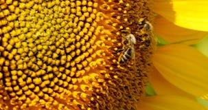 L'ape raccoglie il polline nel girasole Fotografia Stock