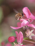 L'ape raccoglie il polline sul bello paradiso rosa appl dei fiori dell'albero Immagini Stock