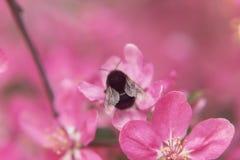 L'ape raccoglie il polline sul bello paradiso rosa appl dei fiori dell'albero Fotografia Stock Libera da Diritti