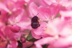 L'ape raccoglie il polline sul bello paradiso rosa appl dei fiori dell'albero Fotografie Stock Libere da Diritti
