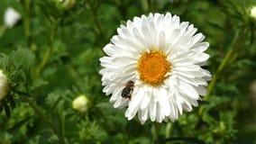 L'ape raccoglie il polline sulla margherita bianca del gerber - alto vicino stock footage