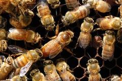 L'ape regina ed il suo entourage fotografia stock libera da diritti