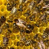 L'ape regina fa le uova nel favo Fotografia Stock Libera da Diritti