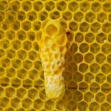 L'ape regina futura si sviluppa in un bozzolo della cera Fotografia Stock