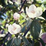 L'ape si siede su un fiore di una cotogna Immagine Stock