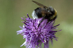 L'ape si siede sul bello fiore di una bardana fotografia stock