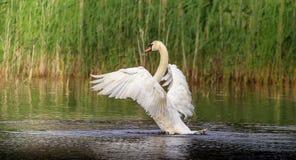 L'apertura alare gigante del cigno muto bianco fotografia stock