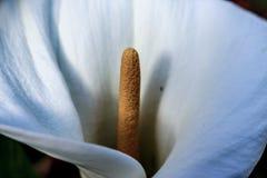 L'apertura di un Lilly Fotografia Stock